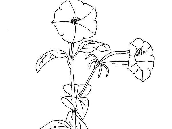 Violetflower Petunia (Petunia Integrifolia) https://www.sagebud.com/violetflower-petunia-petunia-integrifolia