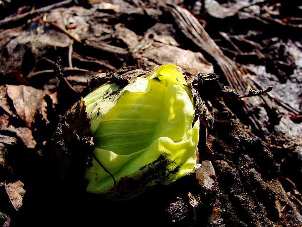 Japanese Sweet Coltsfoot (Petasites Japonicus) https://www.sagebud.com/japanese-sweet-coltsfoot-petasites-japonicus