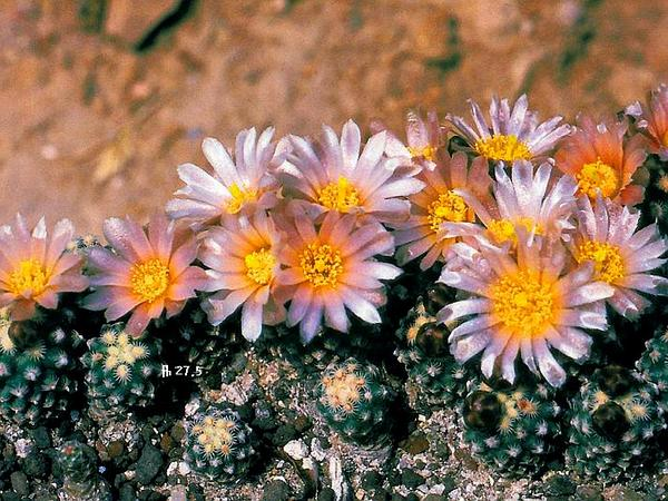 Knowlton's Miniature Cactus (Pediocactus Knowltonii) https://www.sagebud.com/knowltons-miniature-cactus-pediocactus-knowltonii/