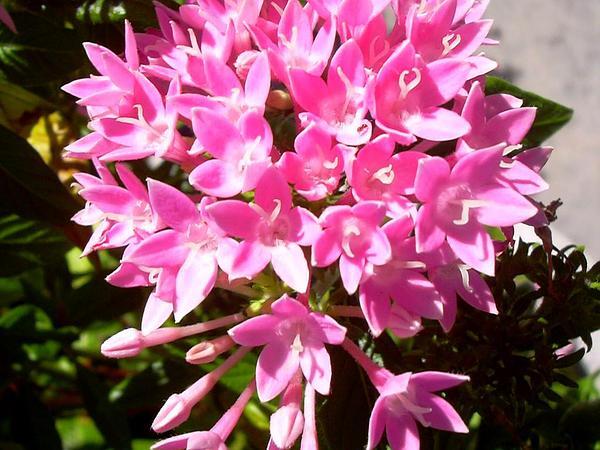 Egyptian Starcluster (Pentas Lanceolata) https://www.sagebud.com/egyptian-starcluster-pentas-lanceolata/