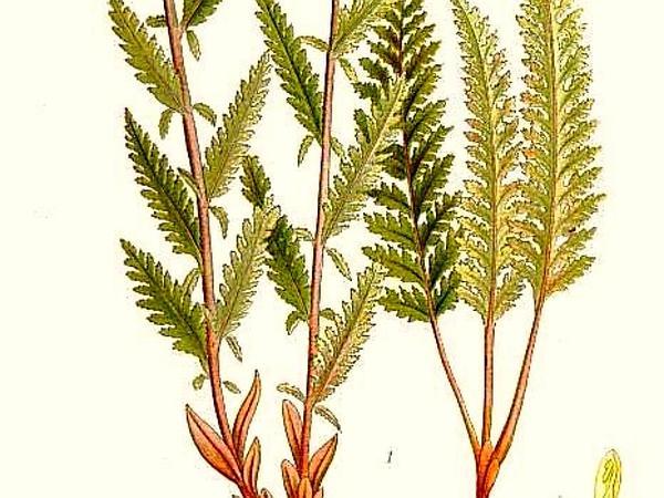 Lapland Lousewort (Pedicularis Lapponica) https://www.sagebud.com/lapland-lousewort-pedicularis-lapponica