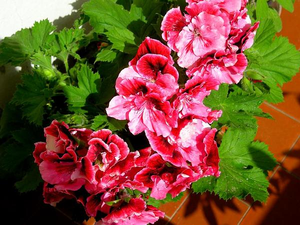 Geranium (Pelargonium) https://www.sagebud.com/geranium-pelargonium