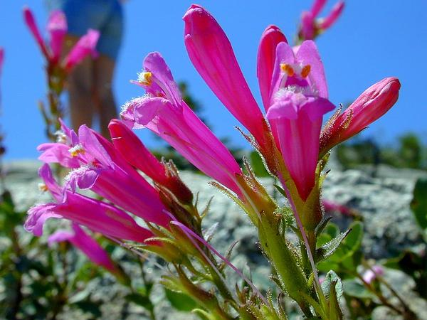 Mountain Pride (Penstemon Newberryi) https://www.sagebud.com/mountain-pride-penstemon-newberryi/