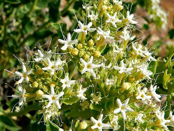 Shinyleaf Sandpaper Plant (Petalonyx Nitidus) https://www.sagebud.com/shinyleaf-sandpaper-plant-petalonyx-nitidus/