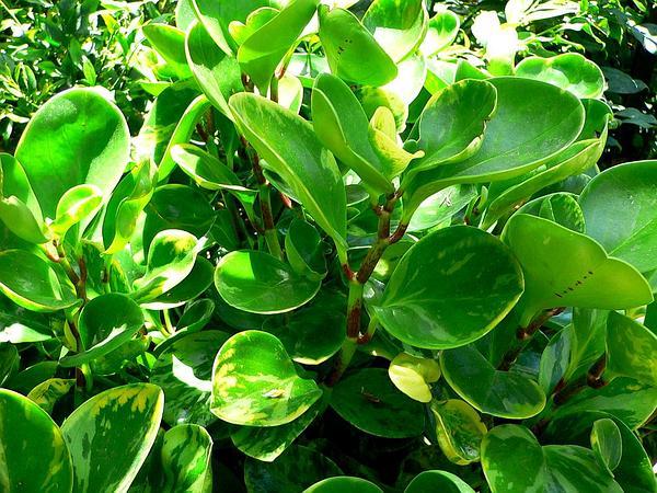 Baby Rubberplant (Peperomia Obtusifolia) https://www.sagebud.com/baby-rubberplant-peperomia-obtusifolia