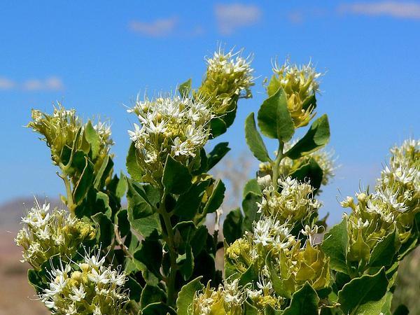 Parry's Sandpaper Plant (Petalonyx Parryi) https://www.sagebud.com/parrys-sandpaper-plant-petalonyx-parryi/