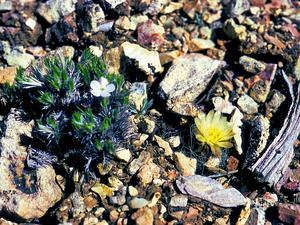 Kaibab Pincushion Cactus