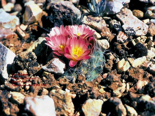 Kaibab Pincushion Cactus (Pediocactus Paradinei) https://www.sagebud.com/kaibab-pincushion-cactus-pediocactus-paradinei