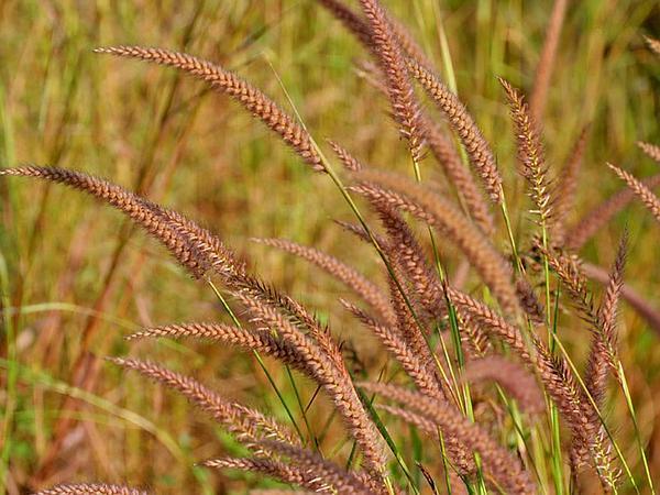 Kyasuma Grass (Pennisetum Pedicellatum) https://www.sagebud.com/kyasuma-grass-pennisetum-pedicellatum