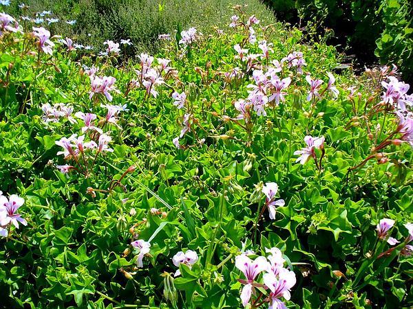 Ivyleaf Geranium (Pelargonium Peltatum) https://www.sagebud.com/ivyleaf-geranium-pelargonium-peltatum