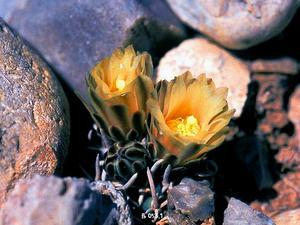 Navajo Pincushion Cactus