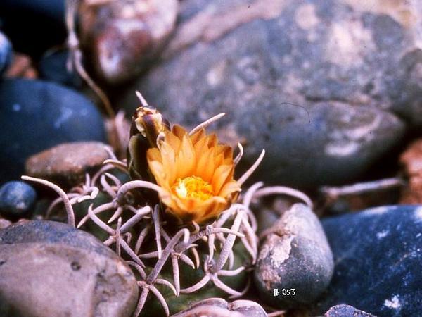 Navajo Pincushion Cactus (Pediocactus Peeblesianus) https://www.sagebud.com/navajo-pincushion-cactus-pediocactus-peeblesianus