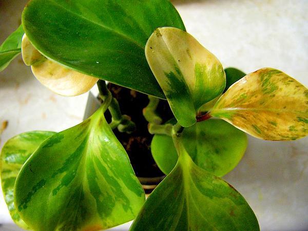 Peperomia (Peperomia) https://www.sagebud.com/peperomia-peperomia/