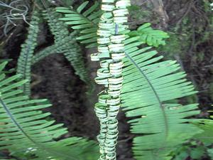 Plumed Rockcap Fern