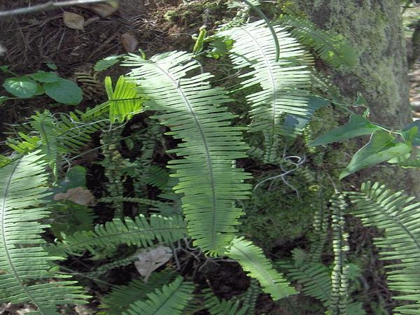 Plumed Rockcap Fern (Pecluma Plumula) https://www.sagebud.com/plumed-rockcap-fern-pecluma-plumula