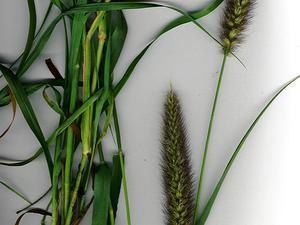 Mission Grass