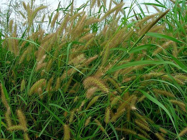 Mission Grass (Pennisetum Polystachion) https://www.sagebud.com/mission-grass-pennisetum-polystachion