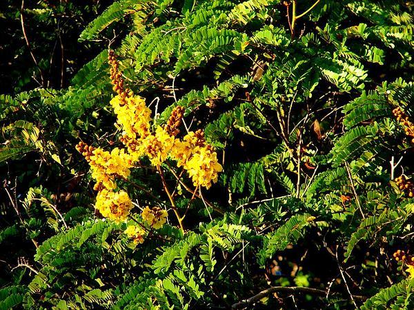 Peltophorum (Peltophorum Pterocarpum) https://www.sagebud.com/peltophorum-peltophorum-pterocarpum/