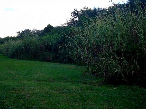 Elephant Grass (Pennisetum Purpureum) https://www.sagebud.com/elephant-grass-pennisetum-purpureum