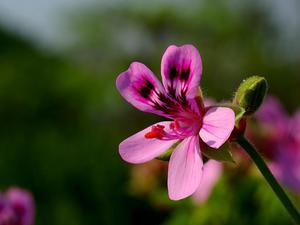 Oakleaf Geranium