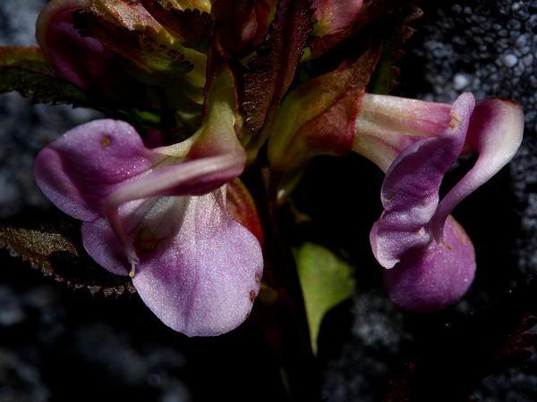 Sickletop Lousewort (Pedicularis Racemosa) https://www.sagebud.com/sickletop-lousewort-pedicularis-racemosa