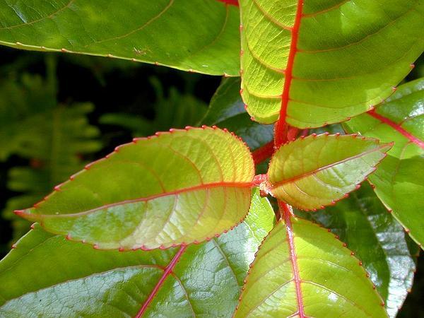 Olomea (Perrottetia Sandwicensis) https://www.sagebud.com/olomea-perrottetia-sandwicensis