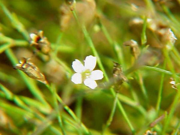 Saxifrage Pink (Petrorhagia Saxifraga) https://www.sagebud.com/saxifrage-pink-petrorhagia-saxifraga
