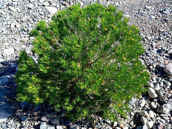 Schott's Pygmycedar (Peucephyllum Schottii) https://www.sagebud.com/schotts-pygmycedar-peucephyllum-schottii/