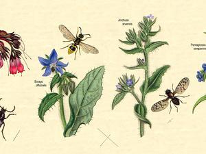 Evergreen Bugloss