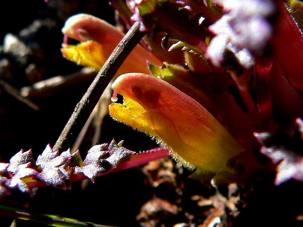 Pinewoods Lousewort (Pedicularis Semibarbata) https://www.sagebud.com/pinewoods-lousewort-pedicularis-semibarbata/