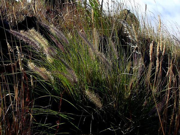 Crimson Fountaingrass (Pennisetum Setaceum) https://www.sagebud.com/crimson-fountaingrass-pennisetum-setaceum