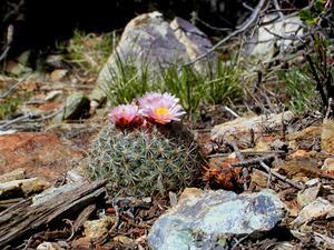 Mountain Ball Cactus