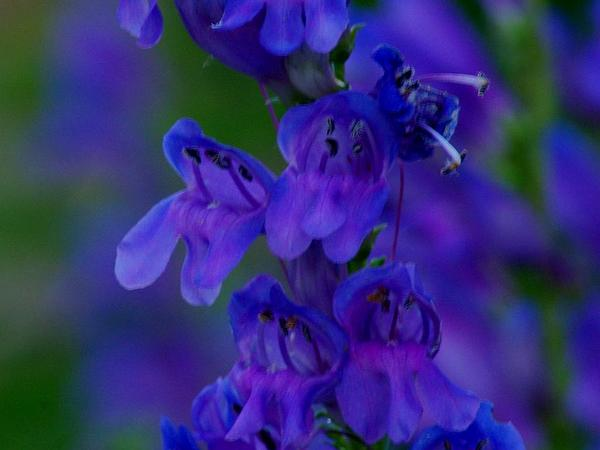 Rocky Mountain Penstemon (Penstemon Strictus) https://www.sagebud.com/rocky-mountain-penstemon-penstemon-strictus