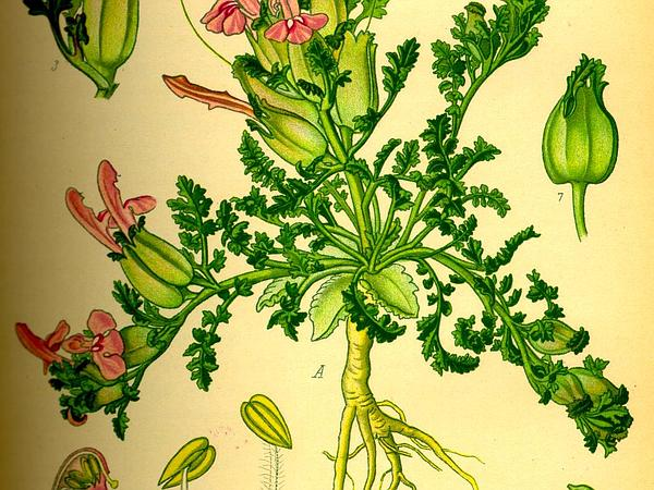 Lousewort (Pedicularis Sylvatica) https://www.sagebud.com/lousewort-pedicularis-sylvatica