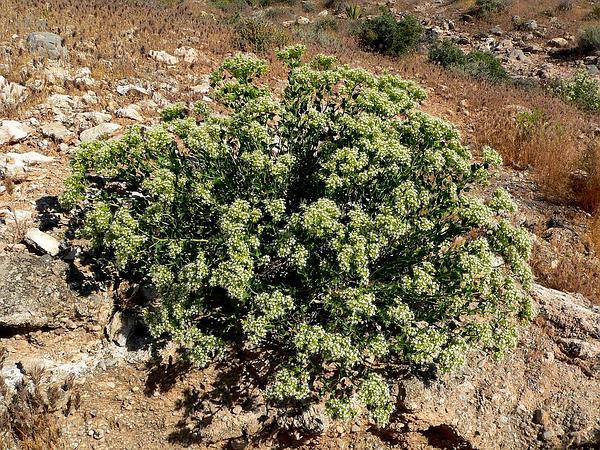 Sandpaper Plant (Petalonyx) https://www.sagebud.com/sandpaper-plant-petalonyx