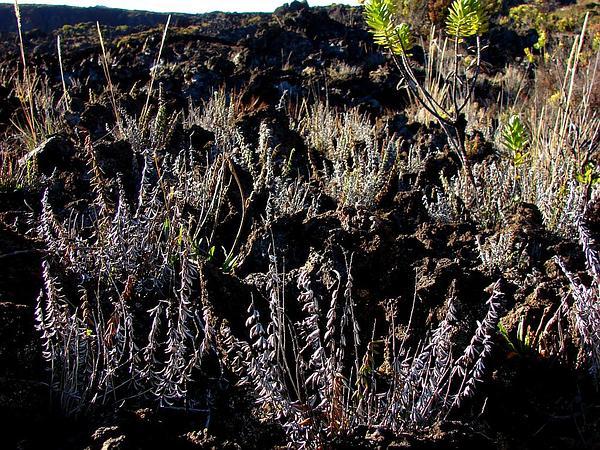 Trans-Pecos Cliffbrake (Pellaea Ternifolia) https://www.sagebud.com/trans-pecos-cliffbrake-pellaea-ternifolia/