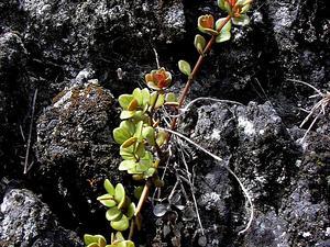 Acorn Peperomia