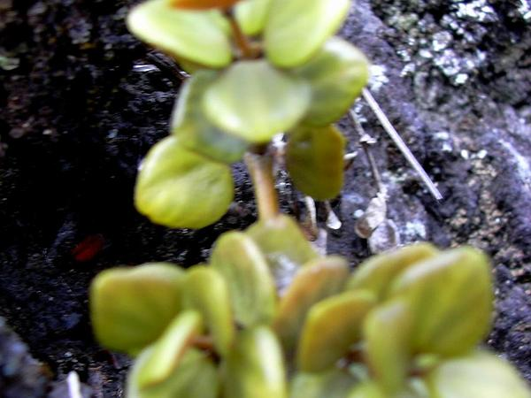 Acorn Peperomia (Peperomia Tetraphylla) https://www.sagebud.com/acorn-peperomia-peperomia-tetraphylla