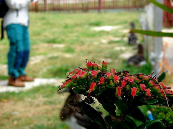 Redbird Flower (Pedilanthus Tithymaloides) https://www.sagebud.com/redbird-flower-pedilanthus-tithymaloides