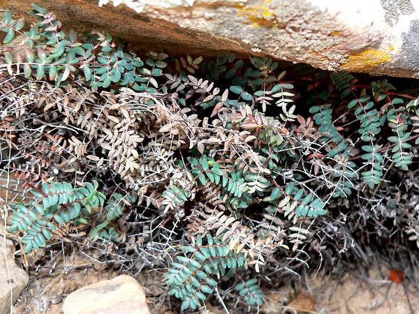 Spiny Cliffbrake (Pellaea Truncata) https://www.sagebud.com/spiny-cliffbrake-pellaea-truncata/