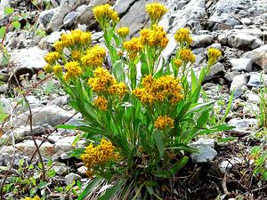 Rock Goldenrod