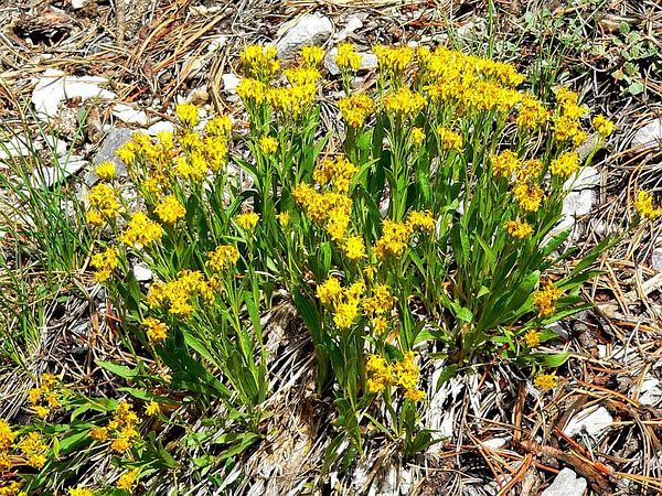 Rock Goldenrod (Petradoria) https://www.sagebud.com/rock-goldenrod-petradoria