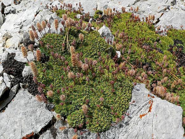 Rockspirea (Petrophytum) https://www.sagebud.com/rockspirea-petrophytum/