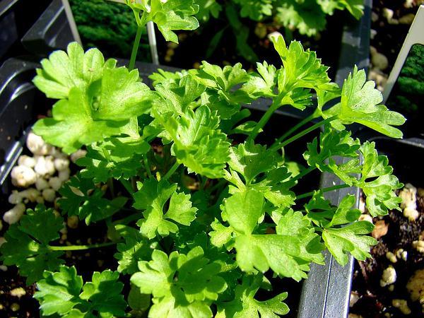 Parsley (Petroselinum) https://www.sagebud.com/parsley-petroselinum