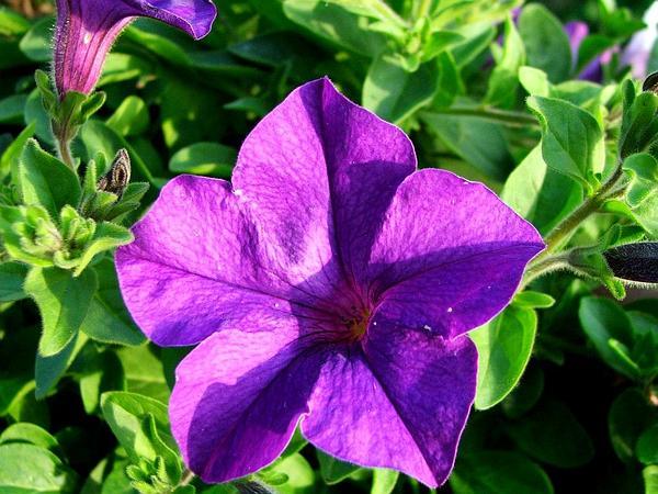 Petunia (Petunia) https://www.sagebud.com/petunia-petunia