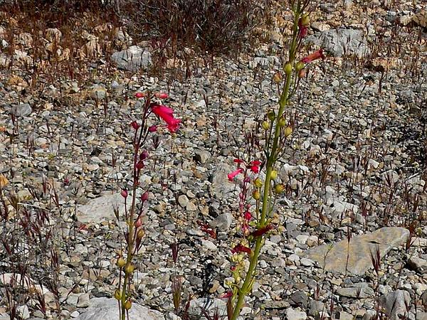 Utah Penstemon (Penstemon Utahensis) https://www.sagebud.com/utah-penstemon-penstemon-utahensis