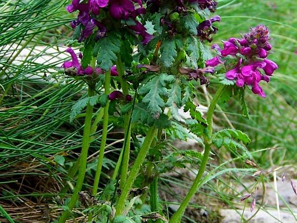 Whorled Lousewort (Pedicularis Verticillata) https://www.sagebud.com/whorled-lousewort-pedicularis-verticillata