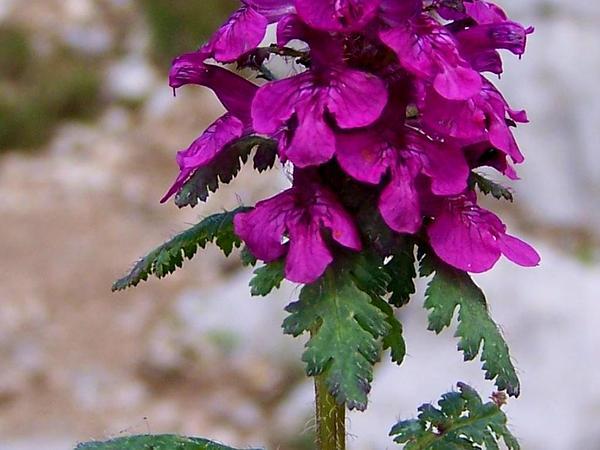 Whorled Lousewort (Pedicularis Verticillata) https://www.sagebud.com/whorled-lousewort-pedicularis-verticillata/