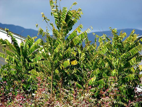 Tahitian Gooseberry Tree (Phyllanthus Acidus) https://www.sagebud.com/tahitian-gooseberry-tree-phyllanthus-acidus