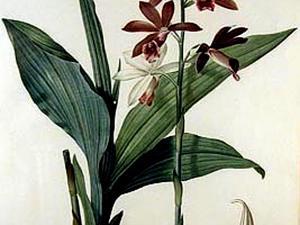 Nun's-Hood Orchid